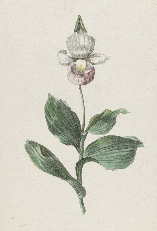 Hendrik Schwegman - Orchidee Vrouwenschoentje (Cypripedium reginae Walter)