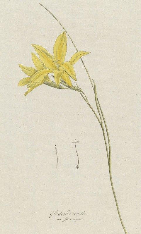 Hendrik Schwegman - Zwaardlelie (Gladiolus carinatus Aiton)