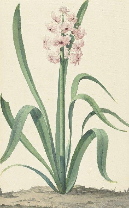 Jan Augustini - De roze hyacint Rex Rubrorum