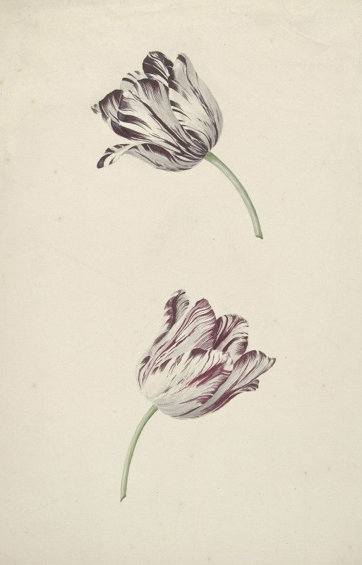 Jan Jansz. van der Vinne - Twee wit-rode tulpen