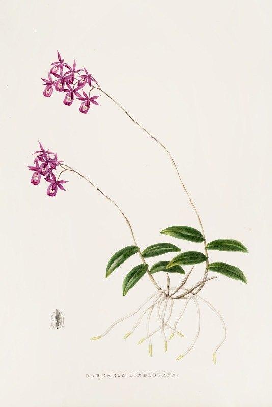 James Bateman - Barkeria Lindleyana