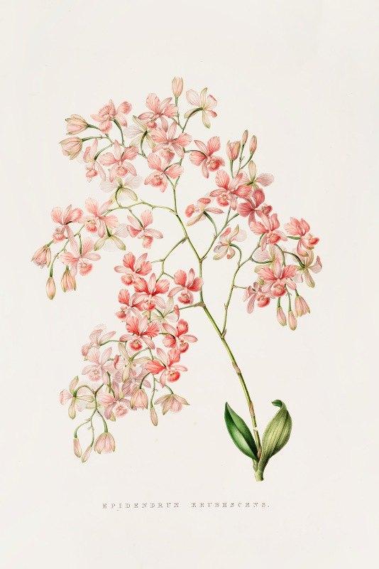 James Bateman - Epidendrum Erubescens