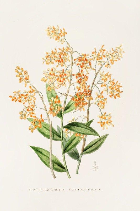 James Bateman - Epidendrum Polyanthum