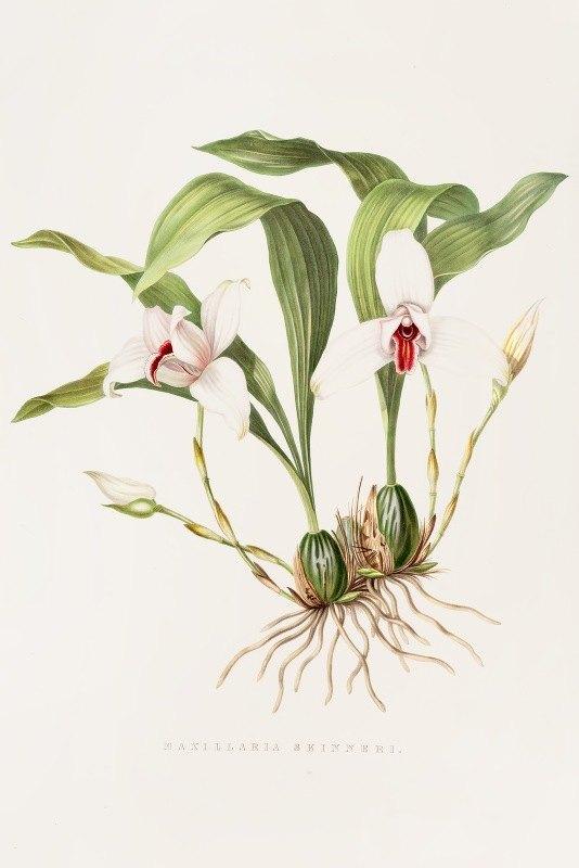 James Bateman - Maxillaria Skinneri