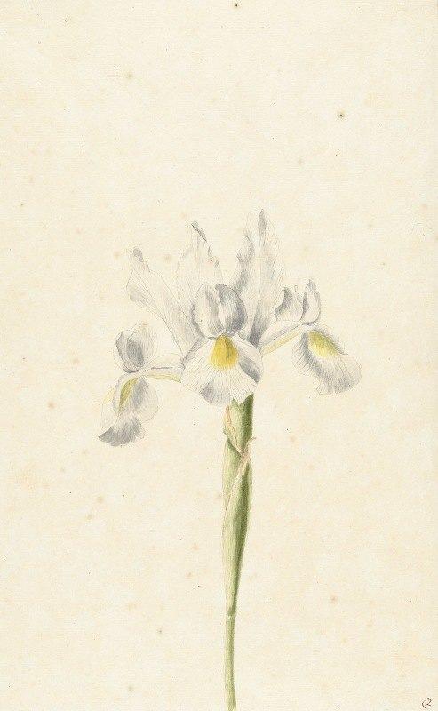 Pieter Withoos - Witte iris