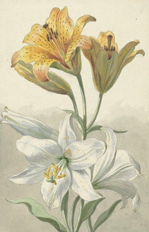 Willem van Leen - Twee soorten lelies
