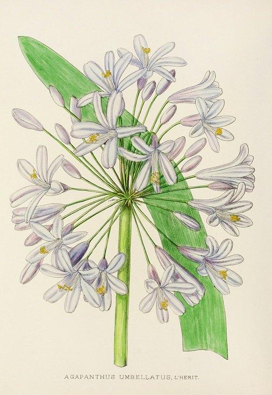 Illtyd Buller Pole-Evans - Agapanthus Umbellatus