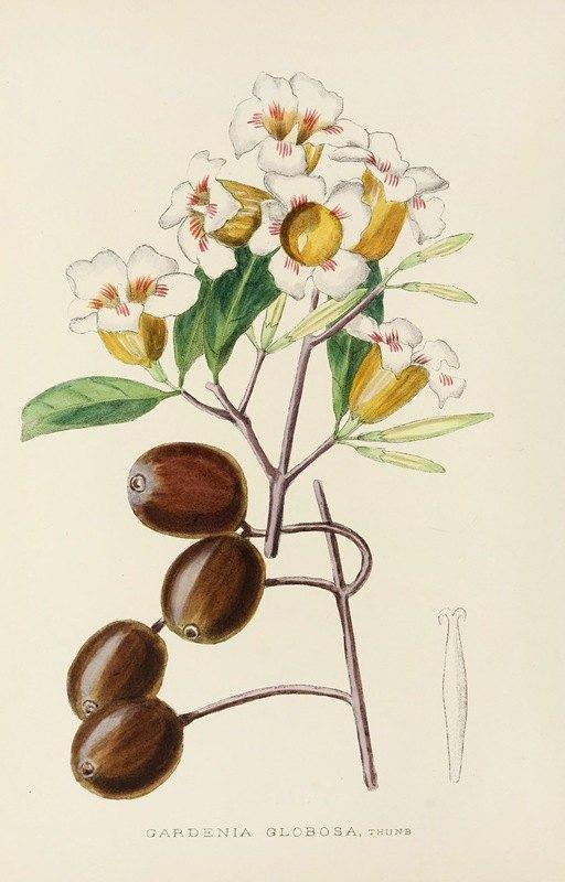 Illtyd Buller Pole-Evans - Gardenia Globosa