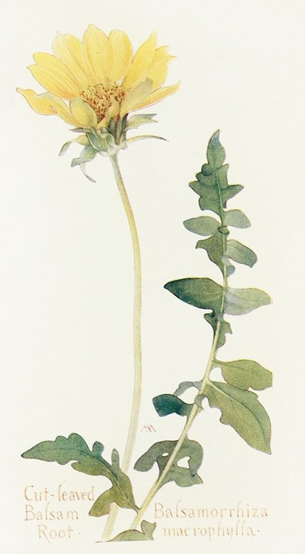 Margaret Armstrong - Cut-leaved Balsam-Root