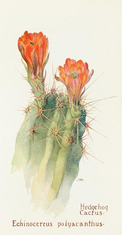 Margaret Armstrong - Hedgehog Cactus