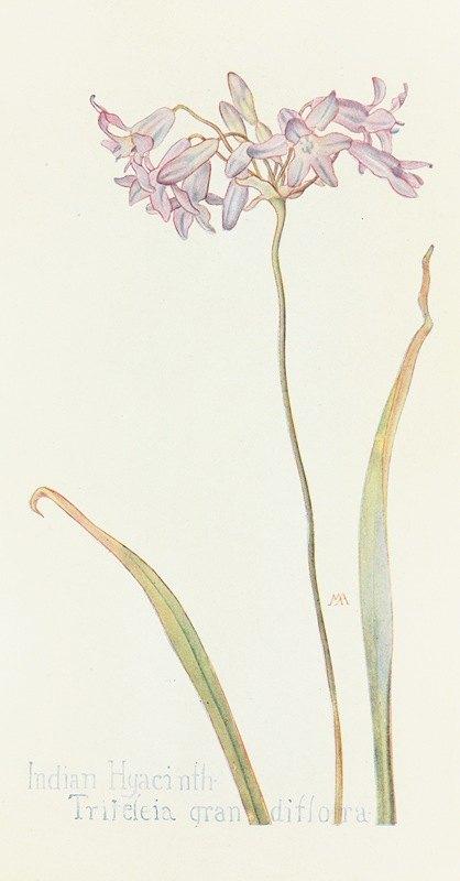 Margaret Armstrong - Indian Hyacinth