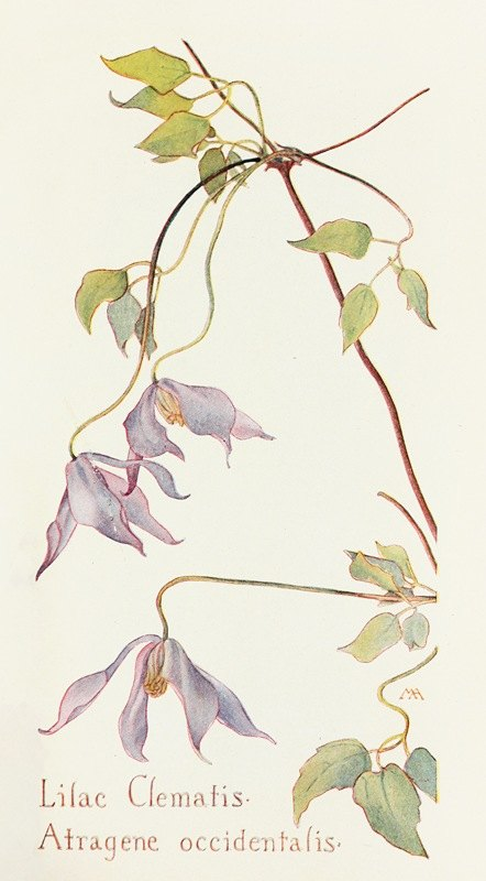 Margaret Armstrong - Lilac Clematis
