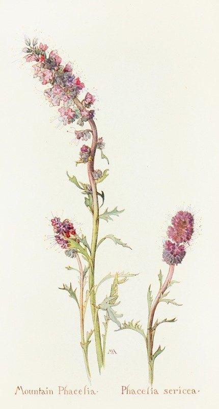 Margaret Armstrong - Mountain Phacelia
