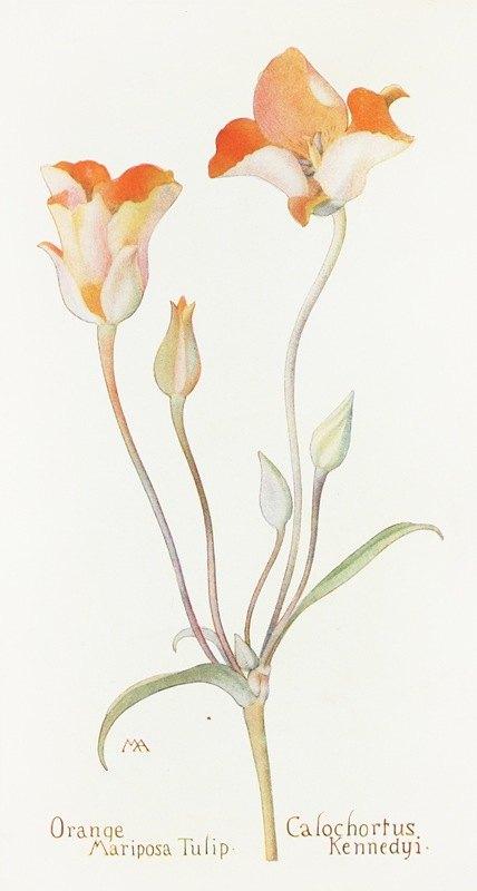 Margaret Armstrong - Orange Mariposa Tulip