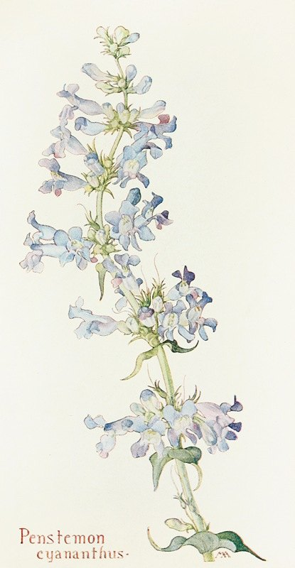 Margaret Armstrong - Penstemon cyananthus