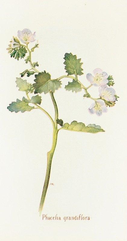 Margaret Armstrong - Phacelia grandiflora