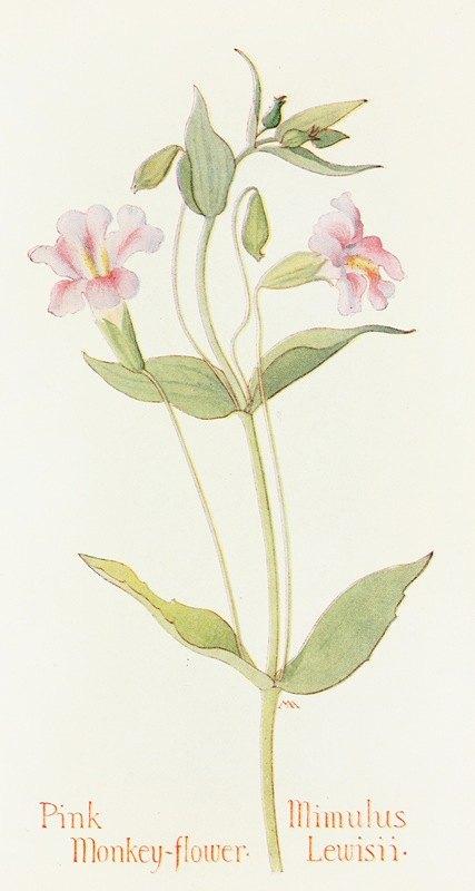 Margaret Armstrong - Pink Monkey Flower