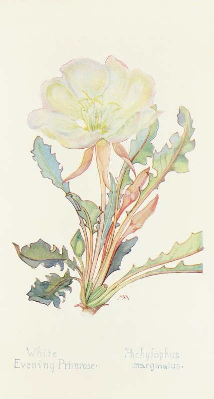 Margaret Armstrong - White Evening Primrose
