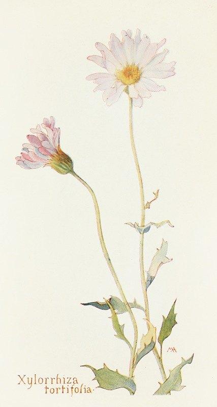 Margaret Armstrong - Xylorrhiza tortifolia