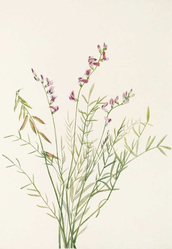 Mary Vaux Walcott - Burgess Milkvetch. (Astragalus bourgovii)
