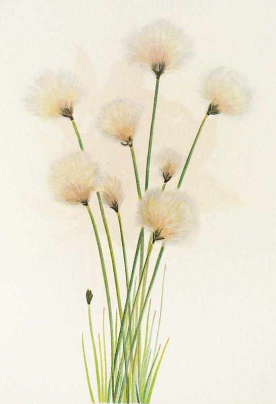 Mary Vaux Walcott - Cottongrass. (Eriophorum chamissonis)