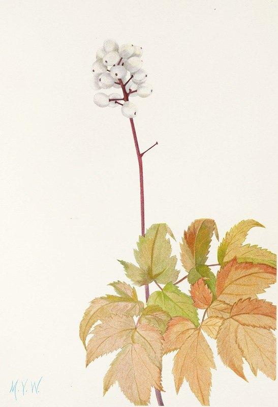 Mary Vaux Walcott - Ivory Baneberry. (Actaea arguta)