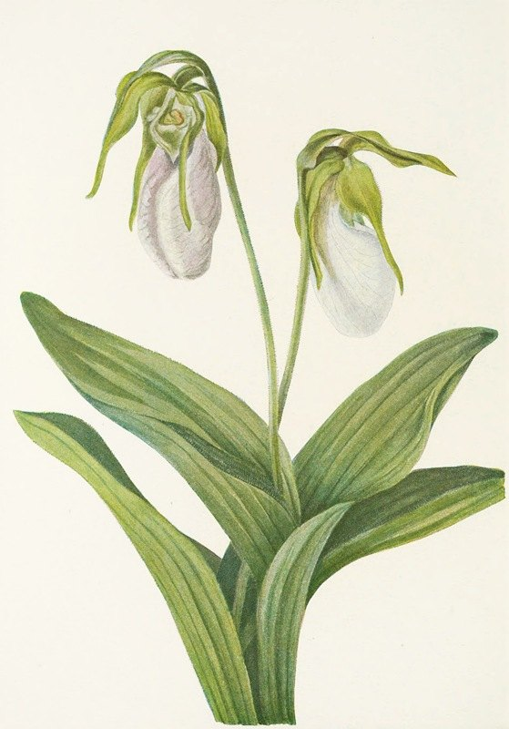 Mary Vaux Walcott - Pale Ladyslipper. (Cypripedium acaule)