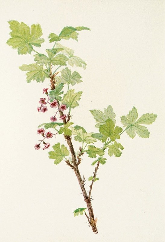 Mary Vaux Walcott - Prickly Currant (flower). (Ribes lacustre)
