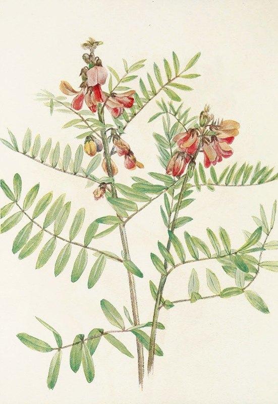 Mary Vaux Walcott - Rabbitbean. (Cracca virginiana)