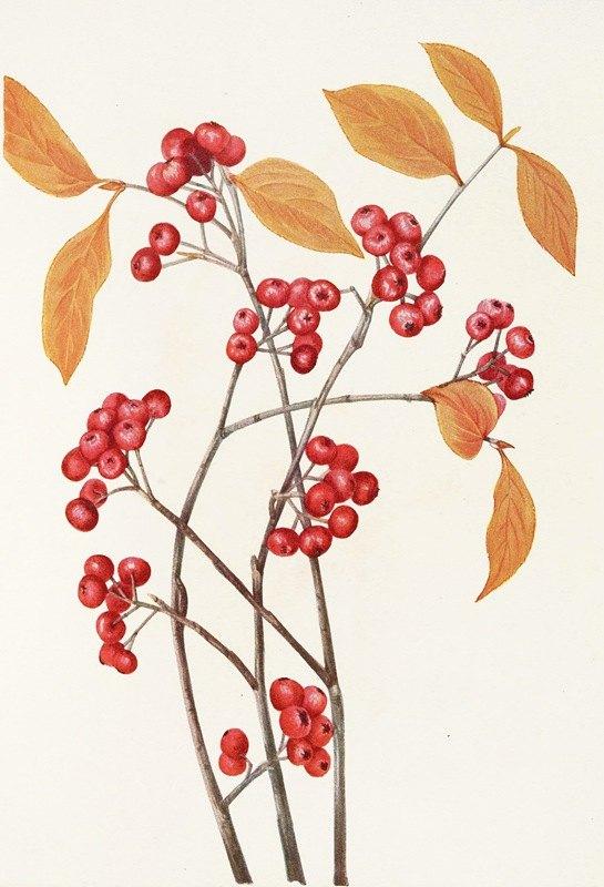 Mary Vaux Walcott - Red Chokeberry (fruit). (Aronia arbutifolia)
