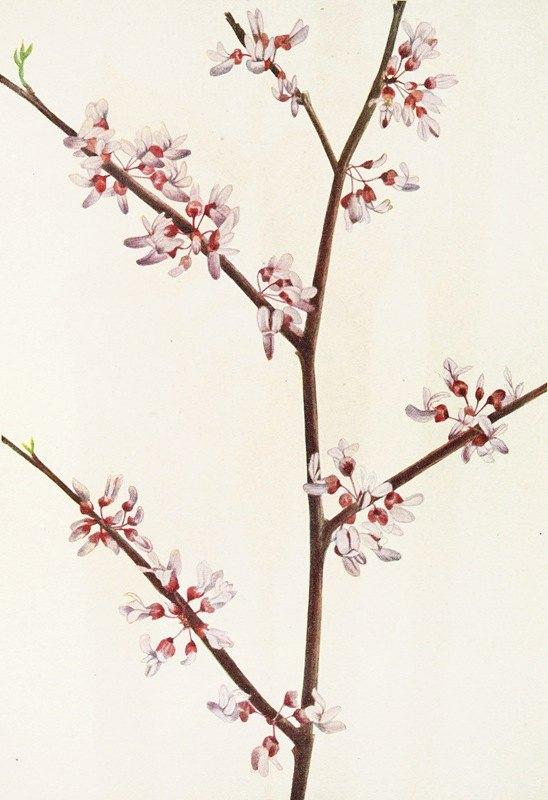 Mary Vaux Walcott - Redbud. (Cercis canadensis)