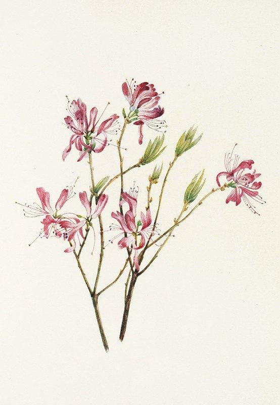 Mary Vaux Walcott - Rhodora. (Rhodora canadensis)