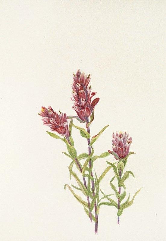 Mary Vaux Walcott - Rose Paintbrush. (Castilleja pallida)