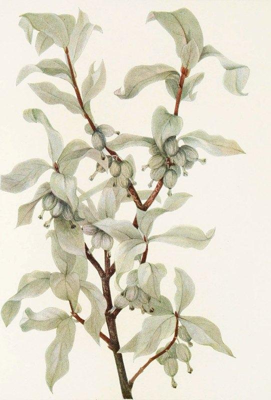 Mary Vaux Walcott - Silverberry (fruit). (Elaeagnus commutata)