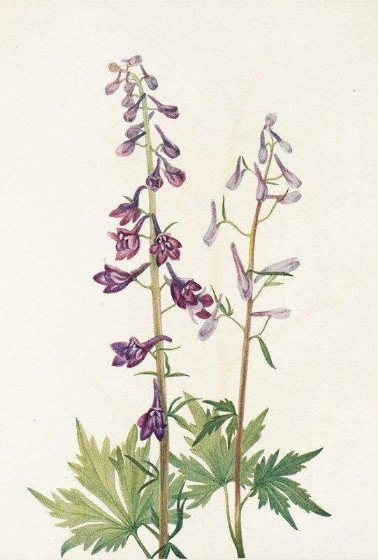 Mary Vaux Walcott - Tall Larkspur. (Delphinium elongatum)