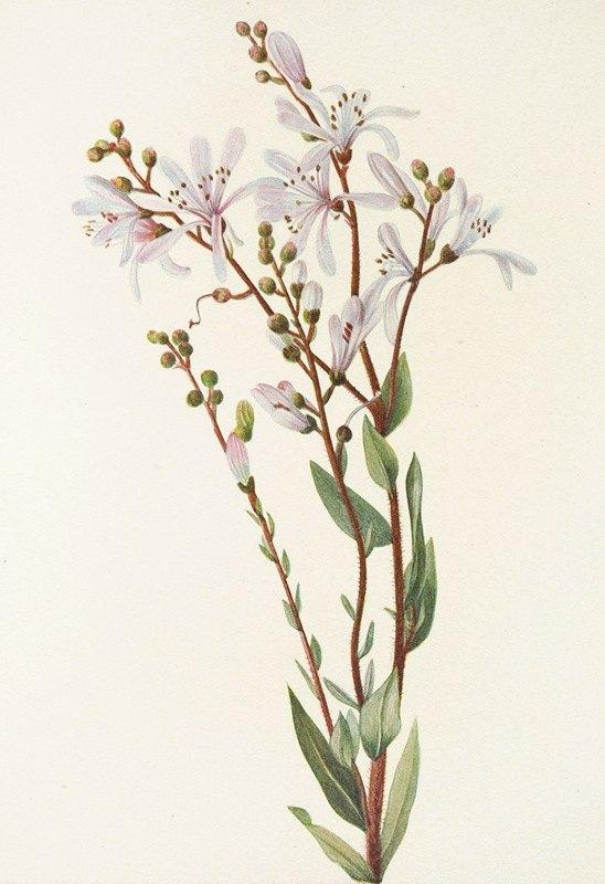 Mary Vaux Walcott - Tarflower. (Befaria racemosa)