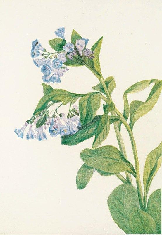 Mary Vaux Walcott - Virginia Bluebells. (Mertensia virginica)