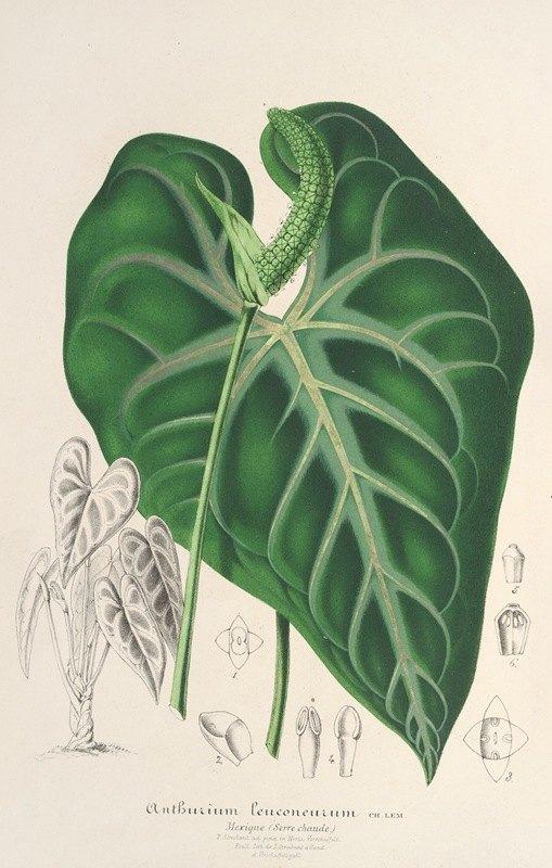 Charles Antoine Lemaire - Anthurium leuconeurum