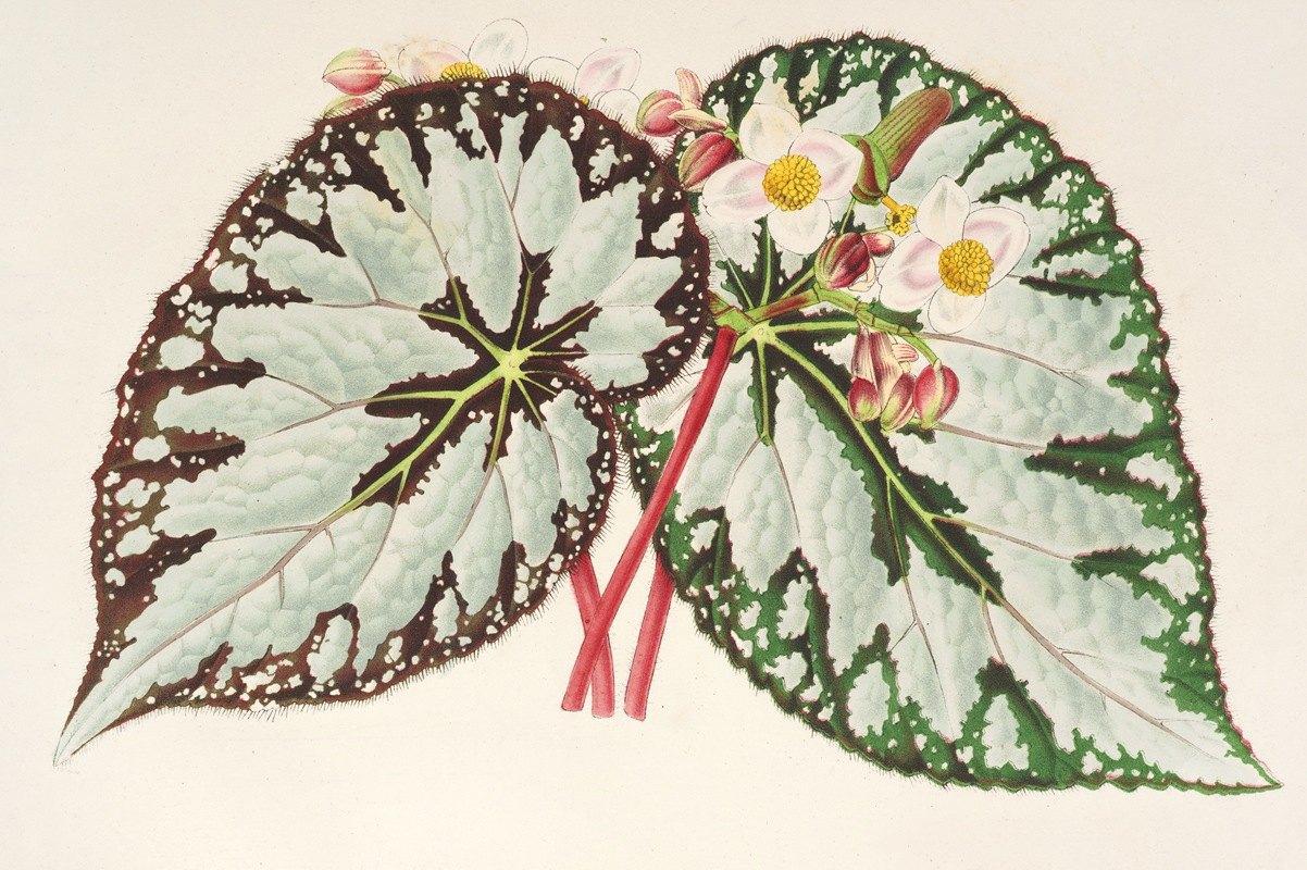 Charles Antoine Lemaire - Begonia Charles Wagner