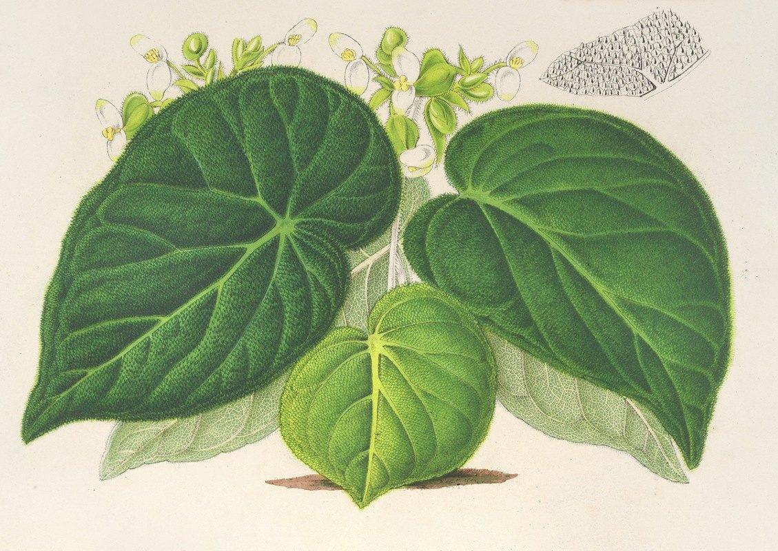 Charles Antoine Lemaire - Begonia imperialis (var. smaragdina)