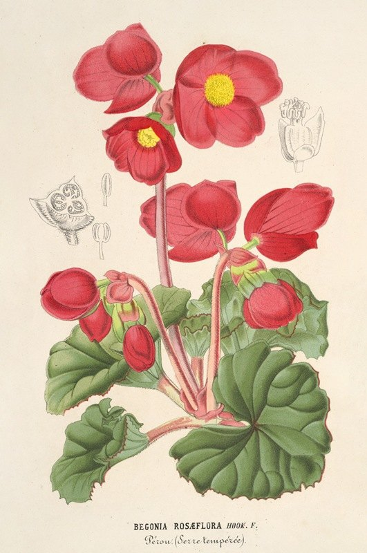 Charles Antoine Lemaire - Begonia rosæflora