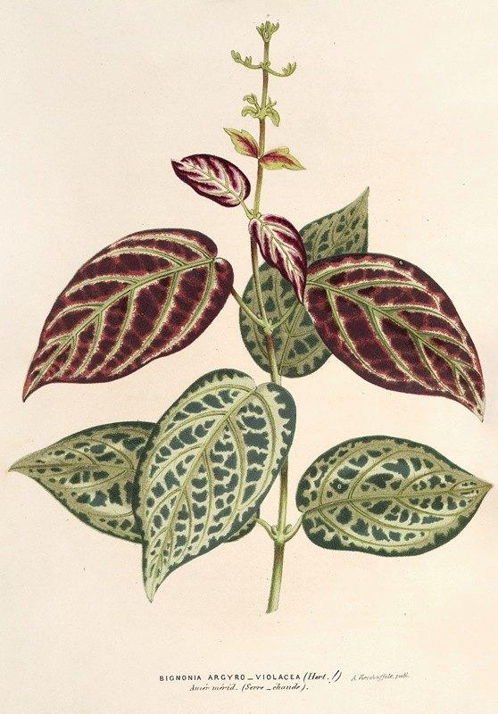 Charles Antoine Lemaire - Bignonia argyreo-violascens