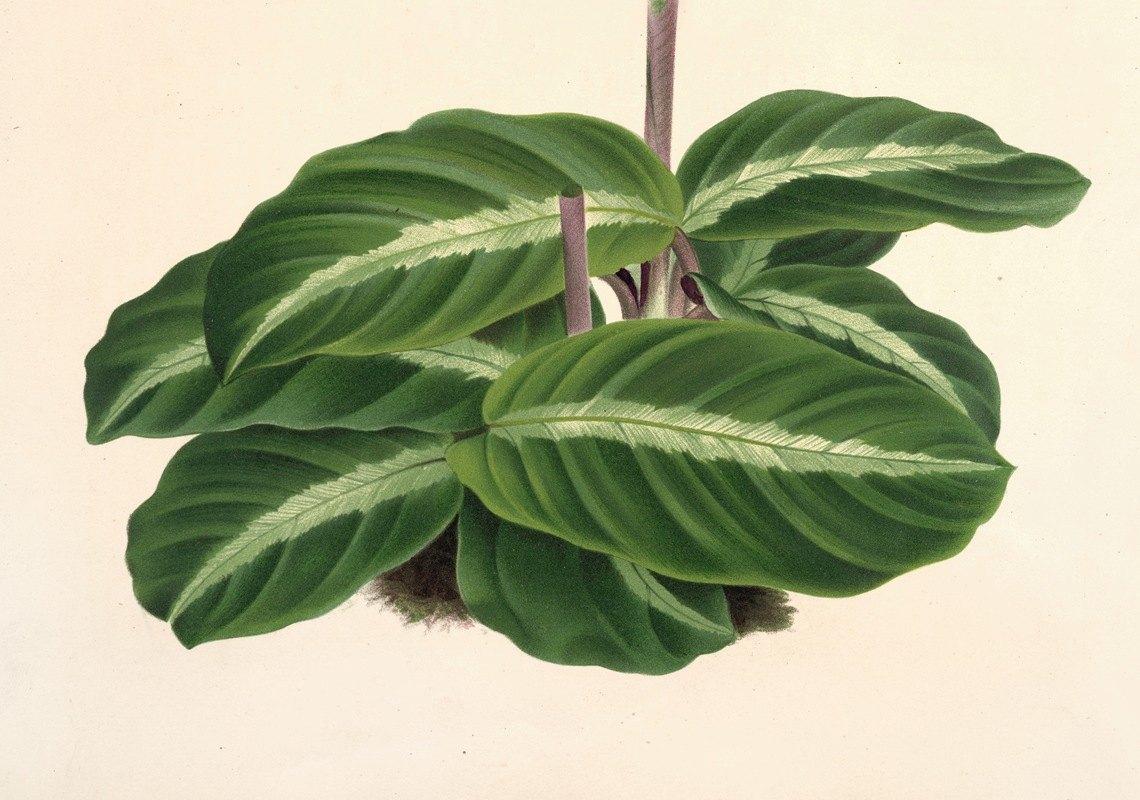 Charles Antoine Lemaire - Calathea undulata
