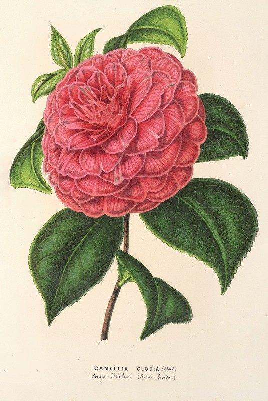 Charles Antoine Lemaire - Camellia Clodia