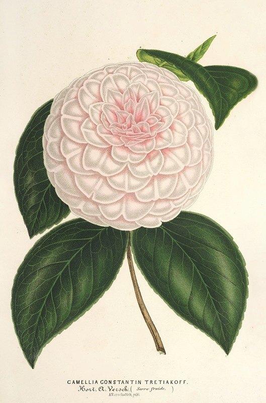 Charles Antoine Lemaire - Camellia Constantin Trétiakoff (hybr.)