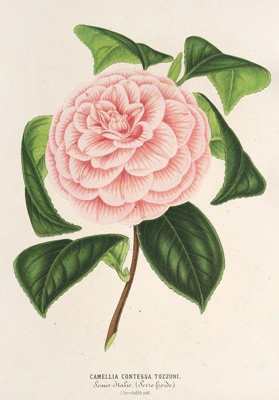 Charles Antoine Lemaire - Camellia Contessa Tozzoni