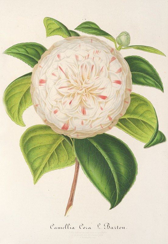 Charles Antoine Lemaire - Camellia Cora L. Barton