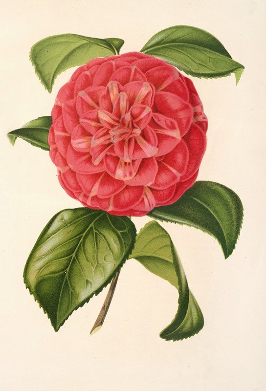 Charles Antoine Lemaire - Camellia Francesco Burlamachi