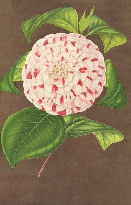 Charles Antoine Lemaire - Camellia Madame Verschaffelt