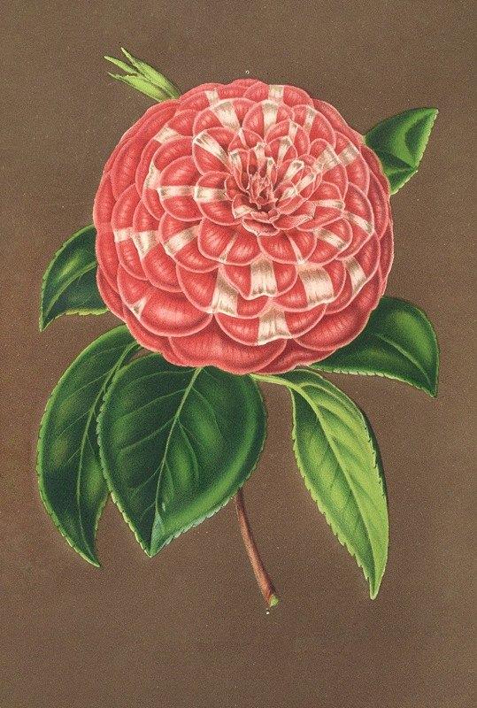 Charles Antoine Lemaire - Camellia Matteo Malfino (hybr.)